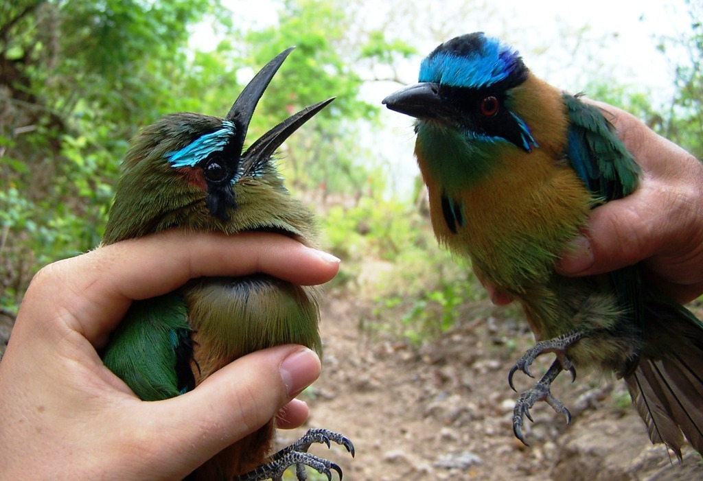 Turquoise-browed motmots in Nicaragua